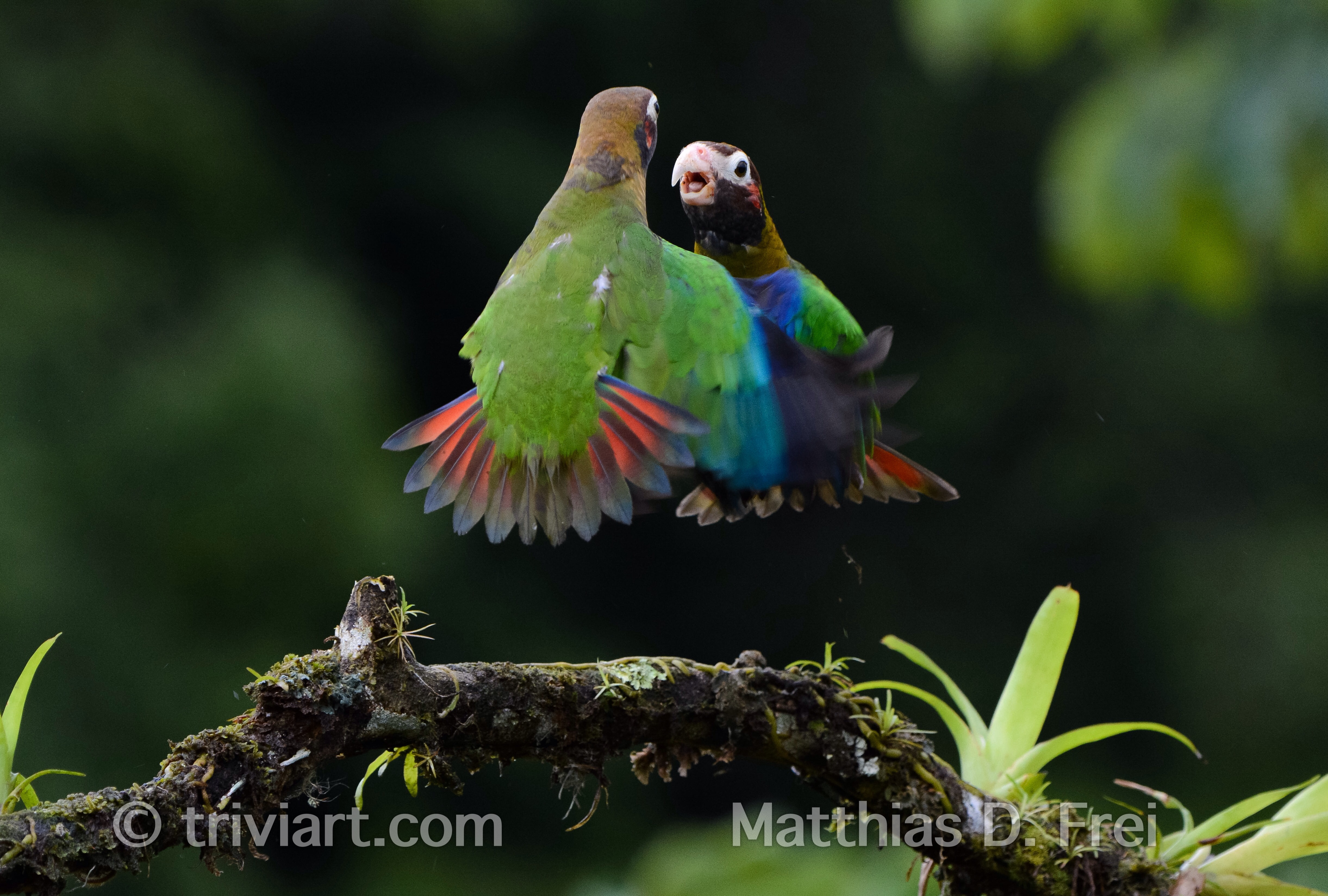 Streitende Papageien