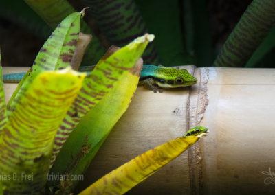 geckos_1051fb