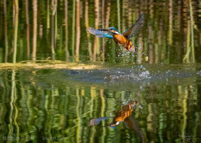 Eisvogel taucht aus dem Wasser auf