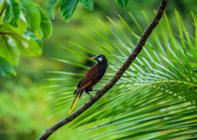 Montezumastirnvogel