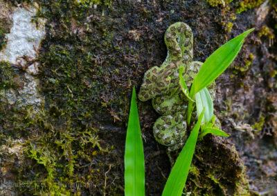 Greifschwanzlanzenotter an Baumstamm
