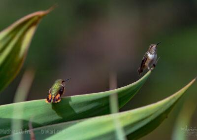 winzige Kolibris