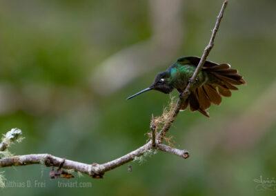 Kolibri in Drohstellung