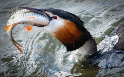 Haubentaucher fängt Riesenfisch