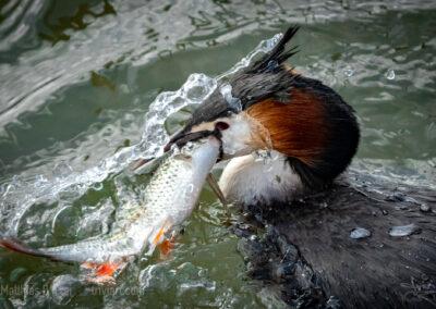 Haubentaucher kämpft mit Rotfeder