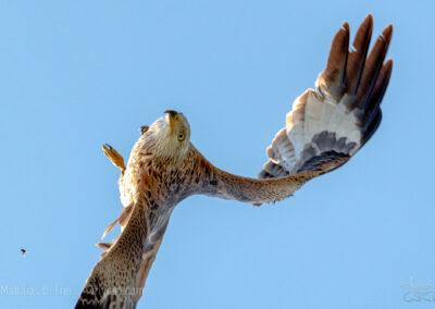 Ein Rotmilan macht nach einem Luftangriff eine Rückwärtsrolle...