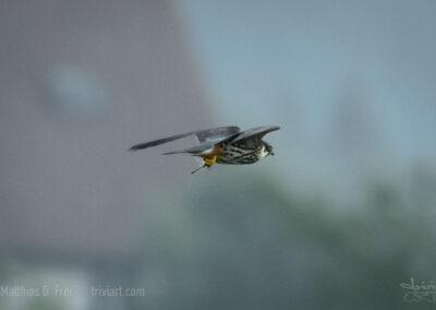 Baumfalke mit erbeuteter Libelle