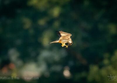 Ein Baumfalke frisst im Flug eine erbeutete Libelle
