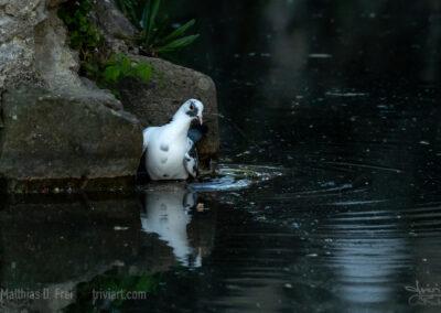 Taube beim Baden