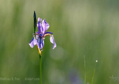 Arktische Iris