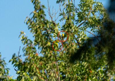 Pirole - trotz leuchtend gelbem Gefieder hervorragend getarnt