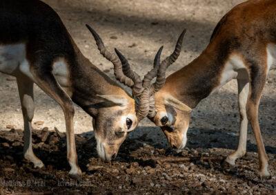 Kämpfende Hirschziegenantilopen