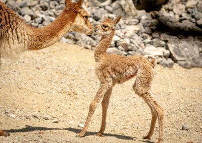 Die ersten Schritte eines neugeborenen Vikunjas