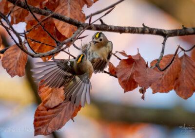 Streitende Wintergoldhähnchen