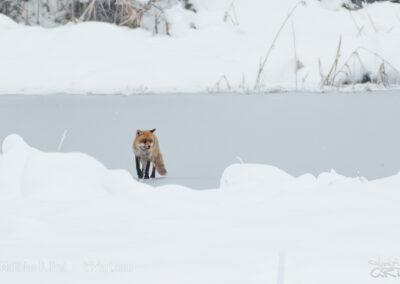 Fuchs auf dünnem Eis