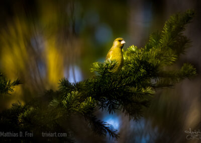 Grünfink in der Abendsonne