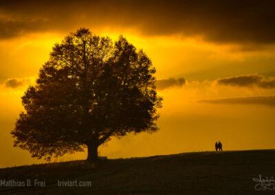 Linde bei Sonnenuntergang