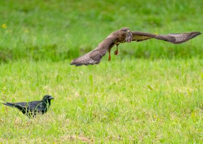 Mäusebussard mit Maus.  Die Krähe hätte auch gern etwas davon.