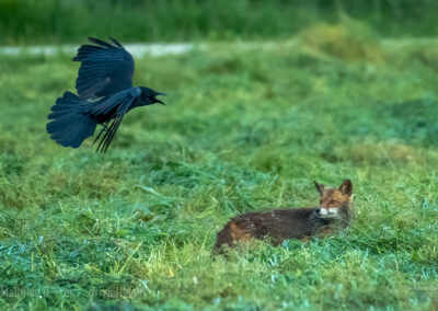 Rotfuchs wird von Krähe attackiert