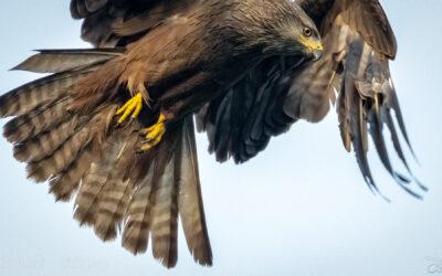 Greifvögel – faszinierende Luftakrobaten