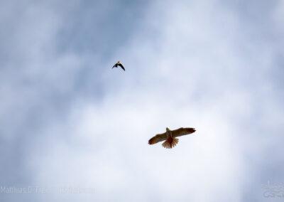Baumfalke jagt Mehlschwalbe
