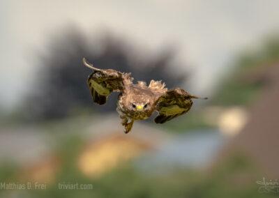 Ein Mäusebussard fängt sich aus dem Sturzflug auf